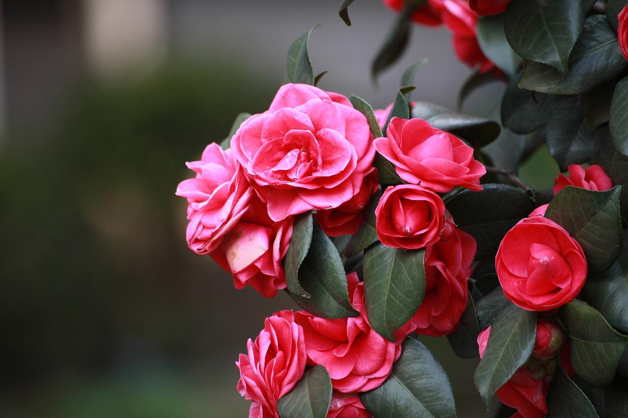 camélias fleurs